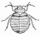 pictures of Bed Bugs 2007