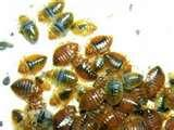 Bed Bugs Enemies photos