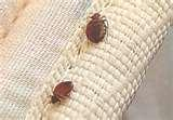 Bed Bugs Wool