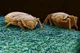 pictures of Bed Bugs As Medicine