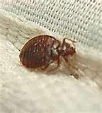 images of Bed Bugs Close Up