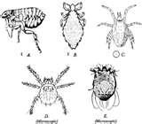 pictures of Bed Bugs Vs Chiggers