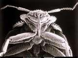 Bed Bugs Google