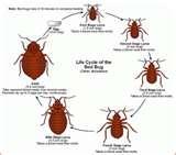 photos of Bed Bugs Eczema