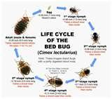 images of Bed Bugs 91