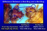 Bed Bugs Agriculture photos