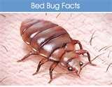 Bed Bugs Humans pictures