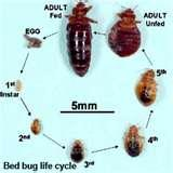 pictures of Bed Bugs Cream