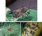 photos of Bed Bugs Pyrethrum-spray