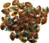 pictures of Bed Bugs Immunity