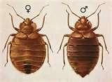 pictures of Bed Bugs Nm
