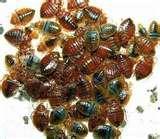 Bed Bugs Ammonia