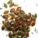 pictures of Bed Bugs Ddt Article