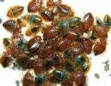 Bed Bugs Ammonia images