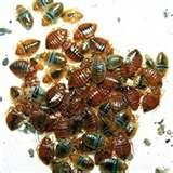 images of Bed Bugs Austin Tx