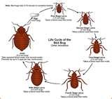 Bed Bugs Where Do They Live images