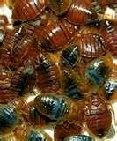 photos of Bed Bugs Key West