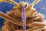 pictures of Do Bed Bugs Carry Mrsa