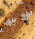 pictures of Bed Bugs Full Of Blood
