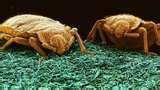 Bed Bugs Pco photos