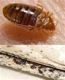 Bed Bugs Fix images