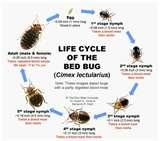 Bed Bugs As Babies images