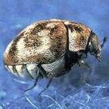 Bed Bugs First Stage Larvae pictures