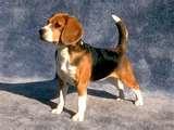 photos of Bed Bugs Beagle