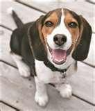 images of Bed Bugs Beagle