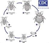 images of Pictures Of Bed Bugs Cycle