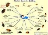 Pictures Of Bed Bugs Cycle photos