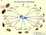 pictures of Photos Of Bed Bugs