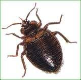 Bed Bugs Houston images