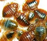 New York City Bed Bugs images