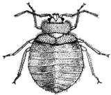 photos of Bed Bug Pictures Actual Size