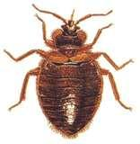 How Long Do Bed Bugs Live pictures