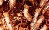 images of Bed Bugs Sydney