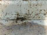 pictures of Bed Bug Feces