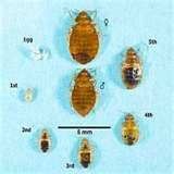 How To Identify Bed Bugs photos