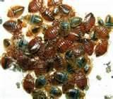Bed Bug Outbreak photos