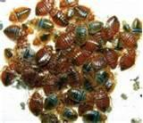 Are Bed Bugs Visible pictures