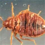 Pictures of Bed Bugs Rash Pictures