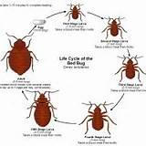 How Do You Get Bed Bugs Pictures