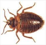 Pictures of Killing Bed Bugs