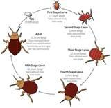 Images of Bed Bugs Life Cycle