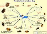 Bed Bugs Life Cycle Pictures