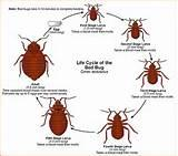 How Big Are Bed Bugs Photos