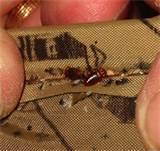 Bed Bugs Infestation Photos