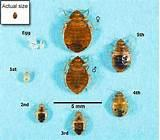 How Do Bed Bugs Look Like Photos
