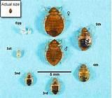 How Do Bed Bugs Look Like Photos